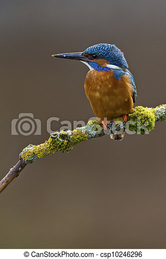Common Kingfisher Alcedo atthis adult male - csp10246296