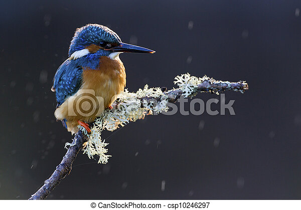 Common Kingfisher Alcedo atthis adult male - csp10246297