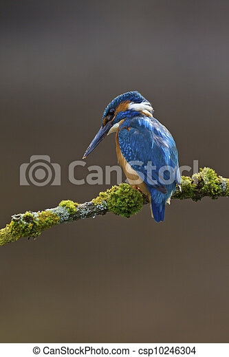Common Kingfisher Alcedo atthis adult male - csp10246304