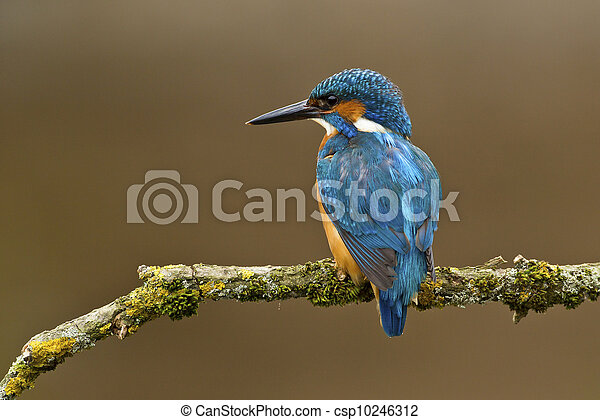 Common Kingfisher Alcedo atthis adult male - csp10246312