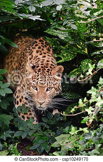 Beautiful leopard Panthera Pardus big cat amongst foliage - csp10249170