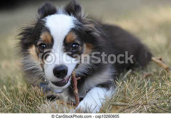 Miniature Australian Shepherd puppy dog chews on a stick in the grass of a suburban yard, with his ears pulled back. - csp10260605