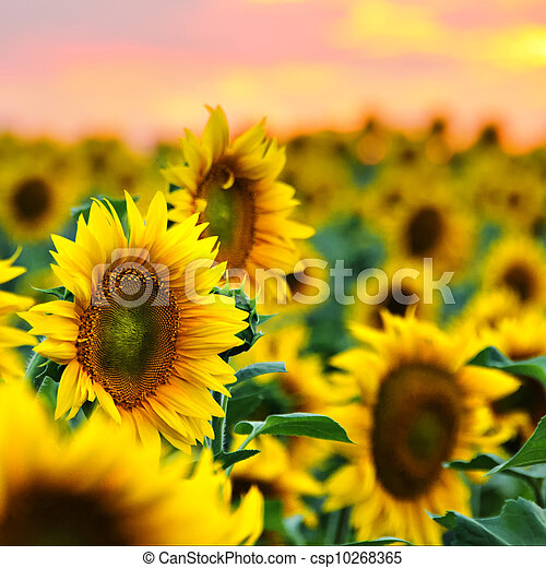 Sunflowers field at sunset - csp10268365