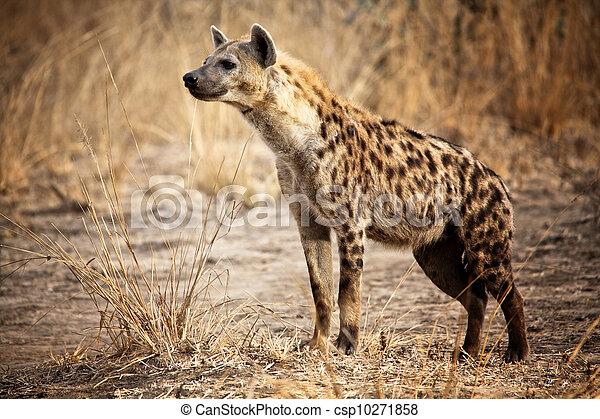Prickigt,  hyena - csp10271858