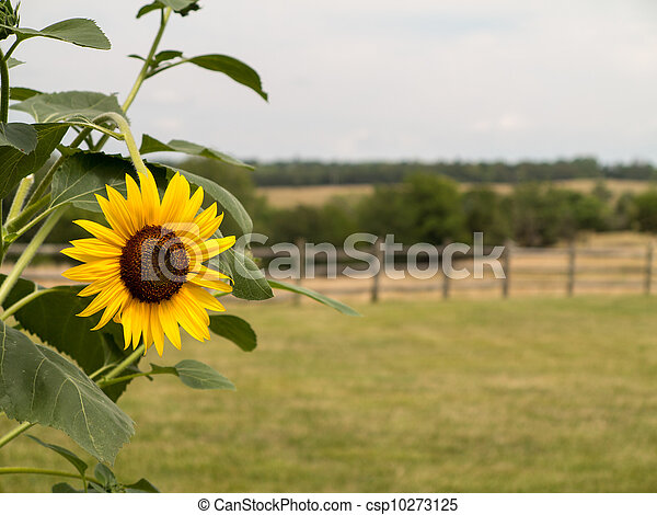 Single sunflower with fence and meadow in background - csp10273125