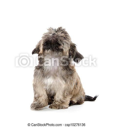 shih tzu puppy begging - csp10276136