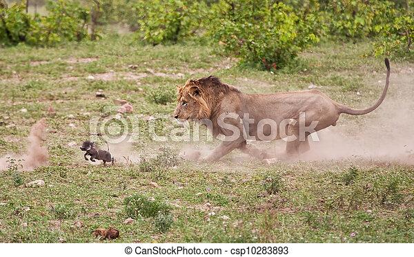 Male lion chasing baby warthog - csp10283893