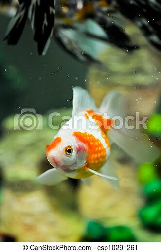 Archivi immagini di pearlscale oranda pesce rosso for Pesce oranda