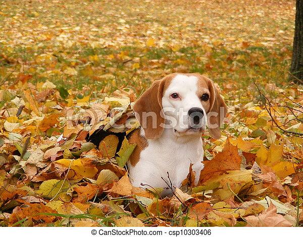 Beagle in autumn forest - csp10303406