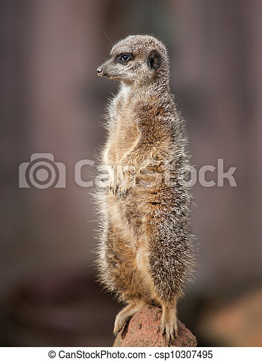 Animal life in Africa: watchful meercat - csp10307495