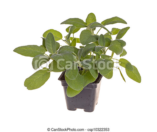 images de plante pot sauge plastique noir petit petit plante csp10322353. Black Bedroom Furniture Sets. Home Design Ideas