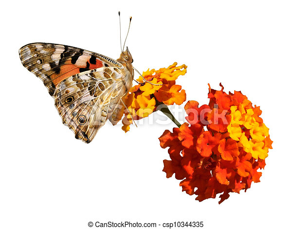 Drawings of Isolated painted lady butterfly on - Isolated ...