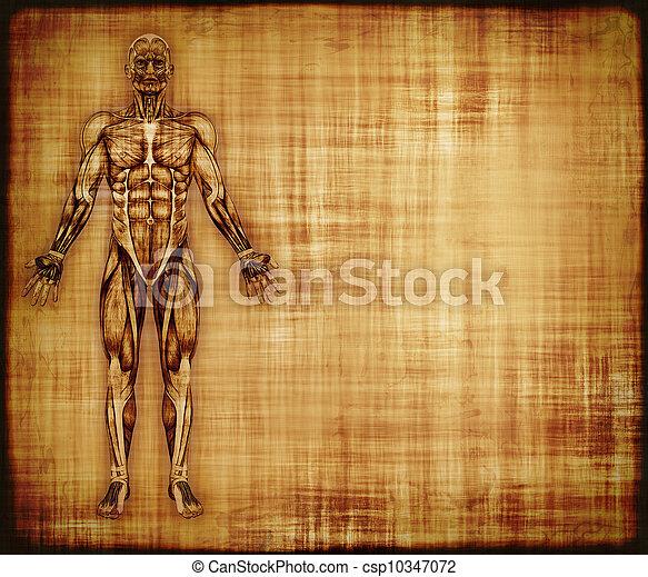 anatomía, músculo, Pergamino - csp10347072
