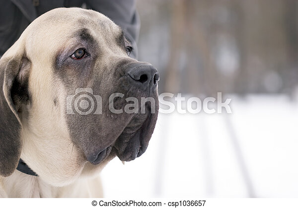 Mastiff dog - csp1036657