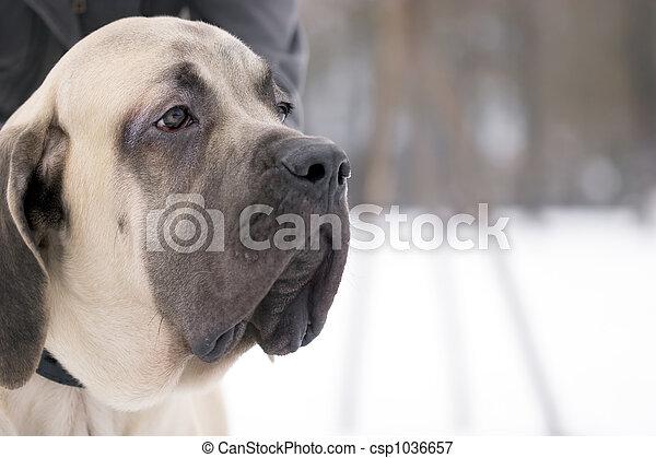 Mastiff dog - csp1036657