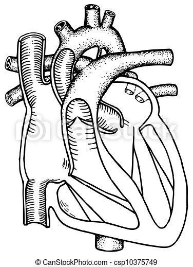 Human heart - csp10375749