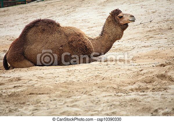camel in the desert animal - csp10390330
