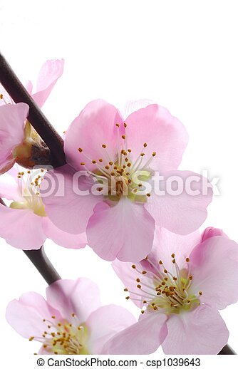 cherry flowers - csp1039643