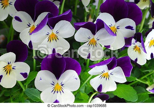 viola tricolor - csp1039688