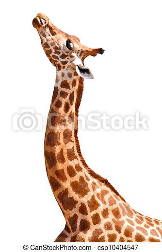 Isolated portrait of giraffe - csp10404547