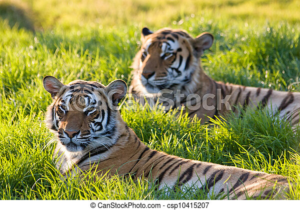 Sunset Tigers - csp10415207