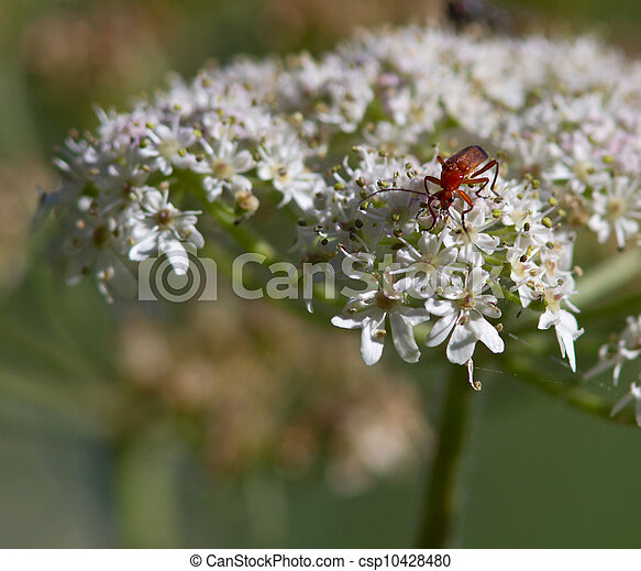 Bug on a Wild Carrot Flower - csp10428480