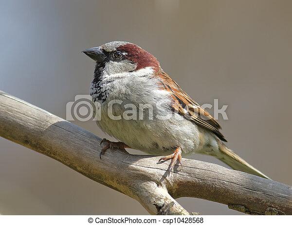 House sparrow - csp10428568
