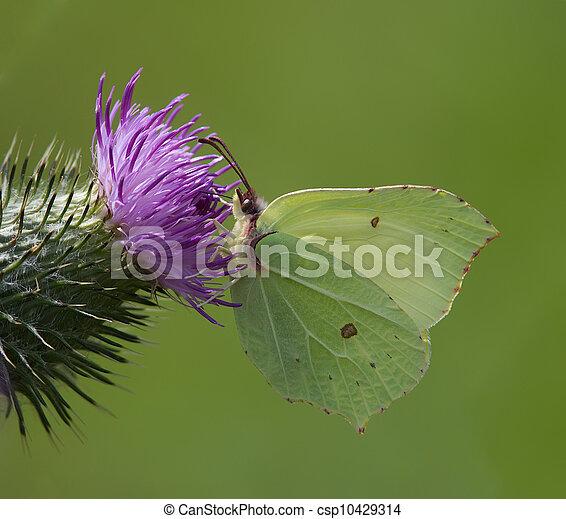 Brimstone Butterfly - csp10429314
