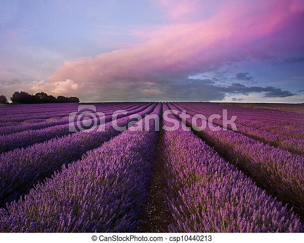 Stunning lavender field landscape Summer sunset - csp10440213
