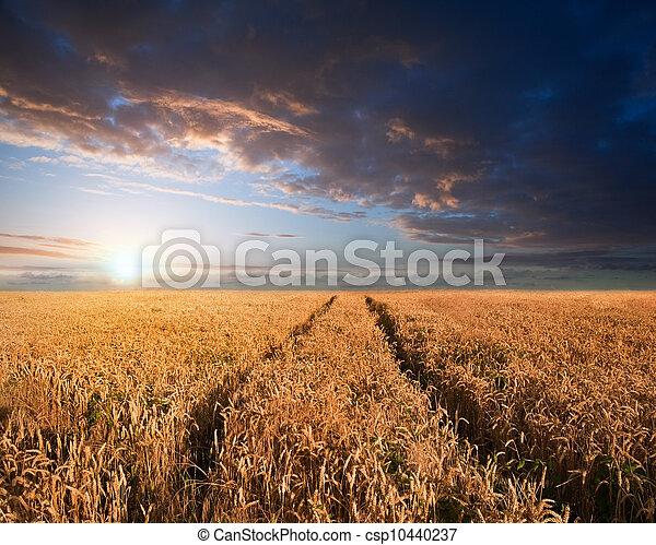 Stunning wheatfield landscape Summer sunset - csp10440237