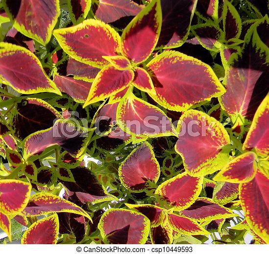Banque de photographies de rick color coleus plante for Plante 7 feuilles
