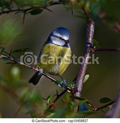 Blue Tit, Cyanistes caeruleus - csp10458837