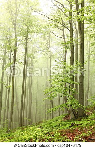 Spring beech forest in the fog - csp10476479