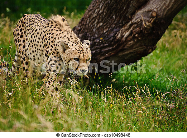 Cheetah Acinonyx Jubatus Big Cat  - csp10498448