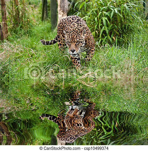 Stunning portrait of jaguar big cat Panthera Onca prowling through long grass in captivity reflected in calm water - csp10499374