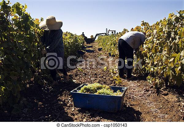 Grape-gathering - csp1050143