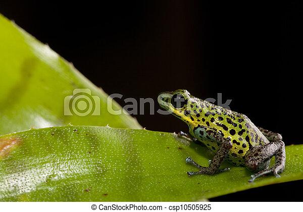 exotique,  poison, grenouille,  rainforest - csp10505925