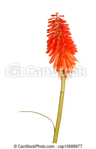 Stem with bright orange flowers of Kniphofia - csp10568977