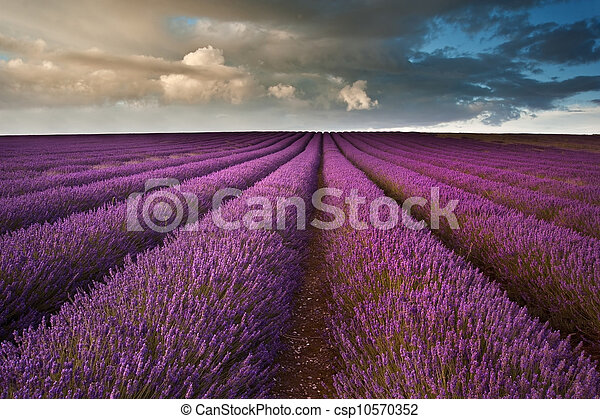 Beautiful lavender field landscape with dramatic sky - csp10570352