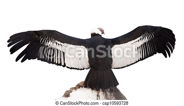 Stock Photo of Andean condor. Isolated over white - Andean ...