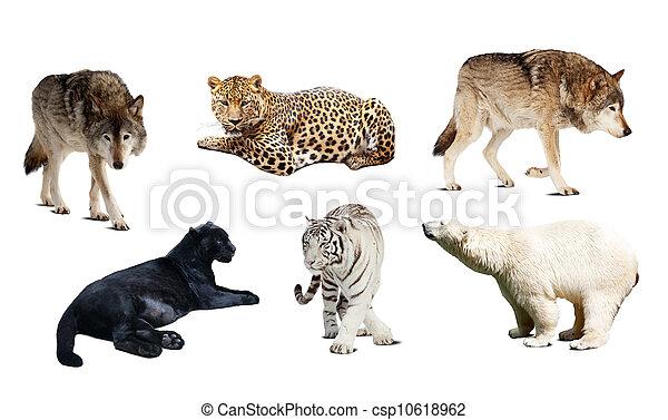 集合,  carnivora, 在上方, 被隔离, 哺乳動物, 白色 - csp10618962