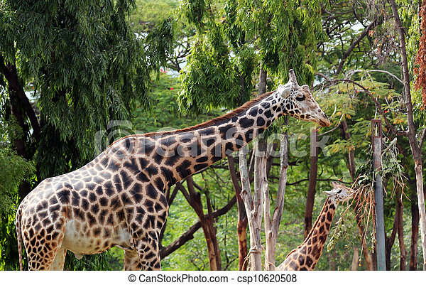Photo of graceful and gentle mature adult giraffe and a younger giraffe eating its vegetarian food. Giraffe is mostly found in african forests and these gentle gaints have long necks and legs - csp10620508
