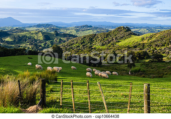 Sheep eating grass on the mountains of the north island of New Zealand - csp10664438