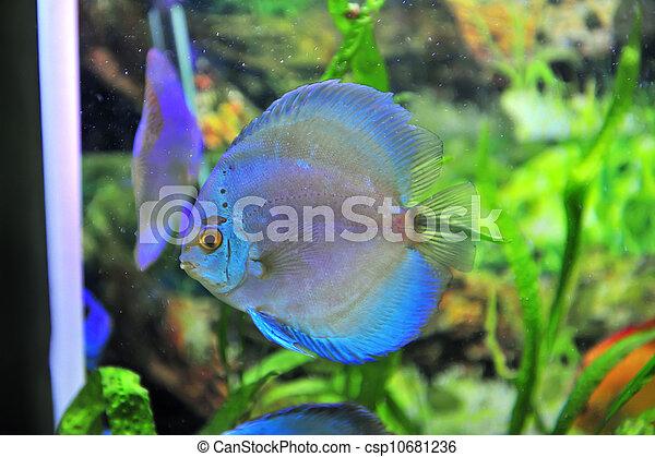 south american discus fish - csp10681236