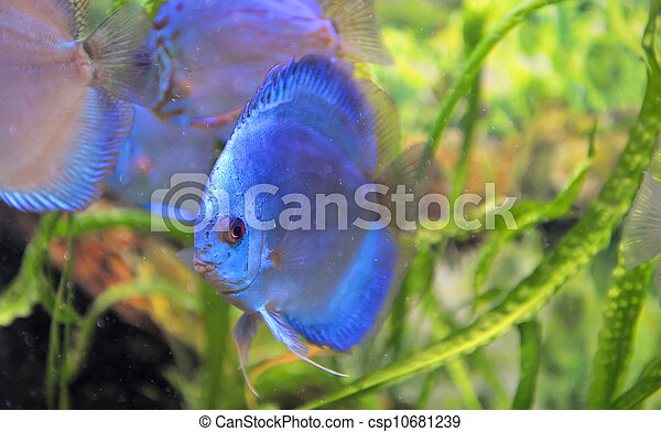 south american discus fish - csp10681239