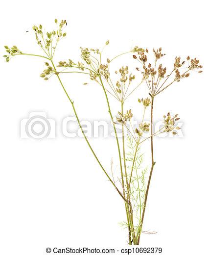 plant cumin - csp10692379