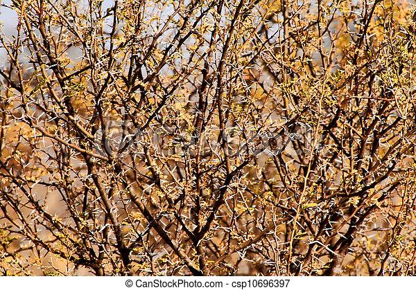 Thorn Bush Clipart Bushveld Thorn Bush Branches
