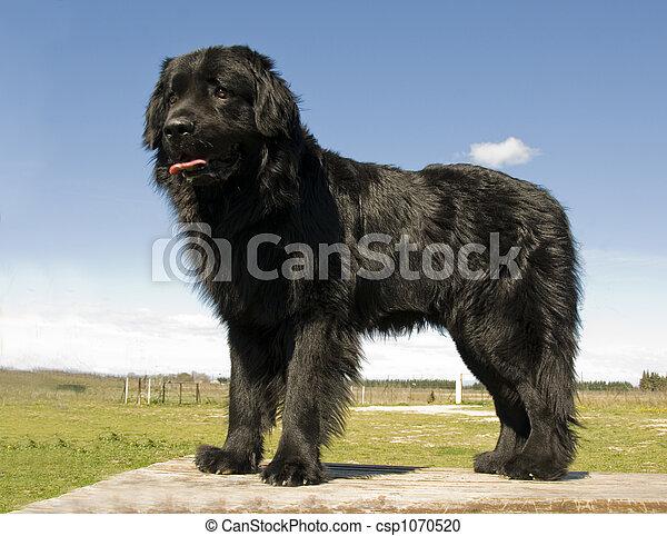 newfoundland dog - csp1070520