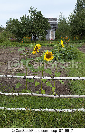 Flowering sunflowers - csp10719917