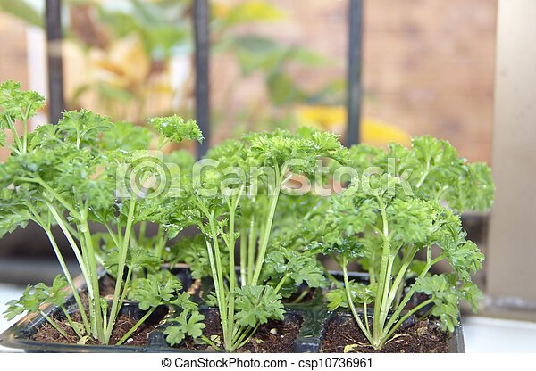 Fresh curly parsley growing on the window sill - csp10736961